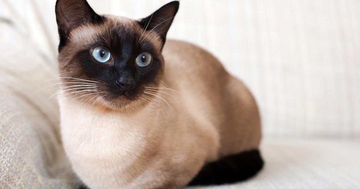 บทความ สัตว์เลี้ยง แมว แมววิเชียรมาศ
