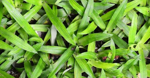 Image result for หญ้าปักกิ่ง