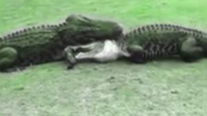 ไฝว้เดือด ศึกชิงอาณาเขต คลิปจระเข้สู้กันบนพื้นหญ้าในสนามกอล์ฟ