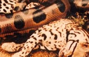 รวมไว้เพียบ! เมื่อสุดยอด 2 นักล่าได้มาเจอกัน เสือ ปะทะ งูยักษ์