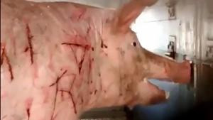 คนที่ชอบกินเนื้อหมู อยากให้ลองดูคลิปนี้ ทรมานสัตว์ขนาดไหน